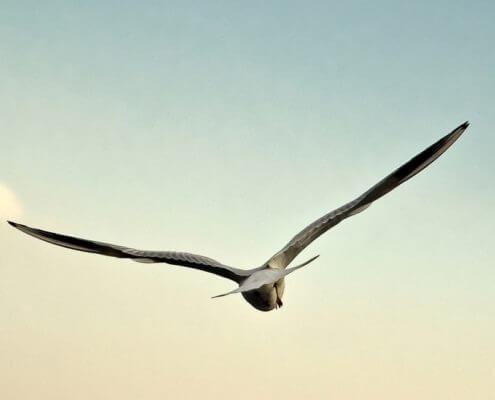 Gabbiano-volando